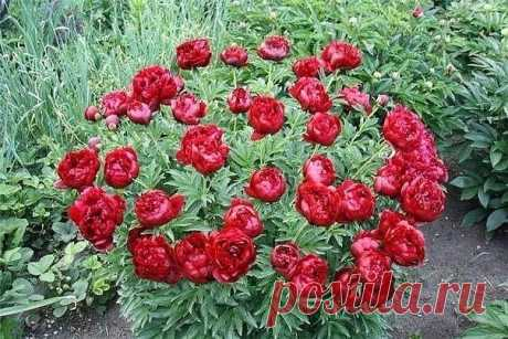 WHEN to START REJUVENATION of the PEONY? | 6 hundred parts