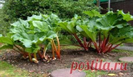 El ruibarbo. La cultivación. | el jardín y la Huerta