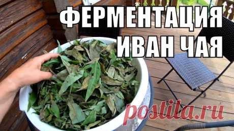 Ферментация иван чая своими руками. Лекарственные растения под ногами Впервые решили произвести ферментацию иван чая. Первую партию мы засушили, вторую заферментировали. Несмотря на неоднородный цвет, чай получился просто велик...
