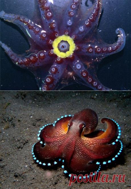 Светящиеся осьминоги Bolitaeninae