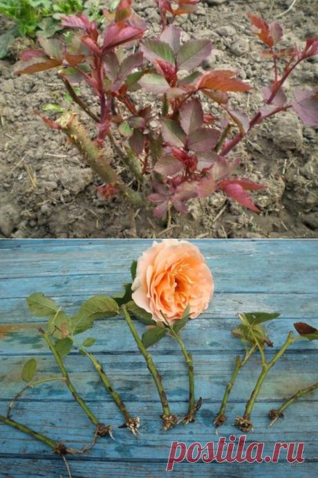 Черенкуем розы по осени – какие есть особенности и сроки черенкования