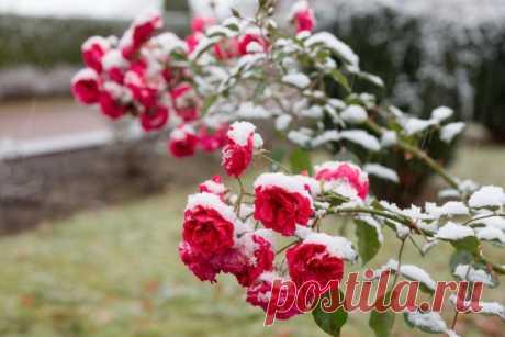5 простых правил ухода за розами осенью. Профилактическая обработка. Укрытие. Фото — Ботаничка.ru