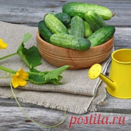 Special top dressing will increase a harvest of cucumbers