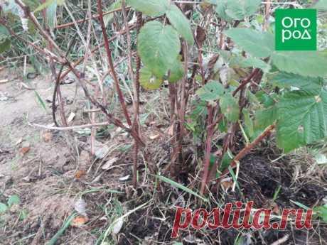 Как обрезать малину осенью – подробный мастер-класс для начинающих   Малина, ежевика (Огород.ru)