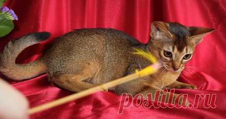 Абиссинская кошечка,3 мес.
