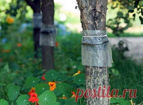 """Ловушка для вредителей деревьев из того, что под рукой - Журнал """"Сам себе изобретатель"""" С наступлением тепла просыпаются различные вредители, которые способны нанести плодовому дереву существенный ущерб. Большая часть всех вредителей и насекомых, ловко подымаются по стволу к цветкам, листьям и плодам. Но их можно остановить еще на самом первом этапе, используя специальные ловушки. Если нужно защитить плодовое дерево от вредителей, то опытные садоводы рекомендуют использовать ловчий пояс. Его …"""