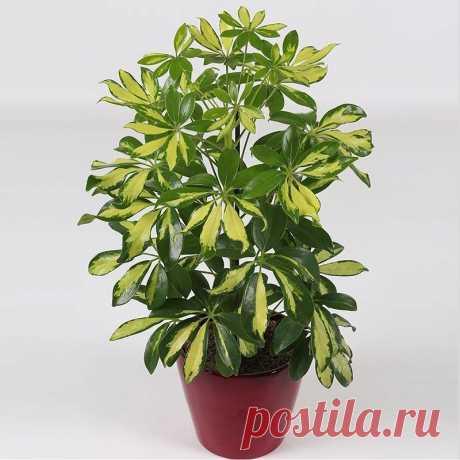 Растения, которые чистят воздух в помещении лучше других Растения, которые чистят воздух в помещении лучше других1. Шеффлера (Schéfflera или Зонтичное дерево) — буквально создана для помещений, в которых курят. Она прекрасно «усваивает» и нейтрализует никотин и смолы, содержащиеся в табачном дыме.2. Сциндапсус золотистый (Epipremnum...