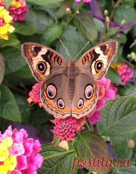 Бабочка Прецис Лавиния (Precis (Junonia) lavinia), её можно увидеть в американских тропиках | mariposas