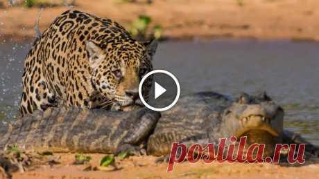 Jaguar Attacks Crocodile: Big Cat Attacks Caiman Crocodile