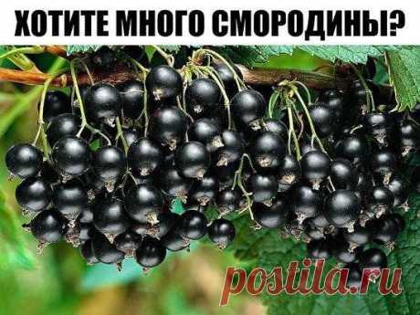 ХОТИТЕ МНОГО СМОРОДИНЫ? НАСУШИТЕ КАРТОФЕЛЬНЫХ ОЧИСТОК! Очистки от картофеля – богатый источник крахмала, который так нужен смородине. От него ее ягоды вырастают до размера вишни. Поэтому возьмите за правило не выбрасывать картофельную кожуру, а собирать, сушить и хранить до нужных времен.  Кстати, очистки отлично сохнут на батарее или просто разложенные в один слой на подоконнике. Хранить их лучше в тканевых мешочках.  Всю весну и лето закапывайте сухие картофельные очистки под кусты или зав
