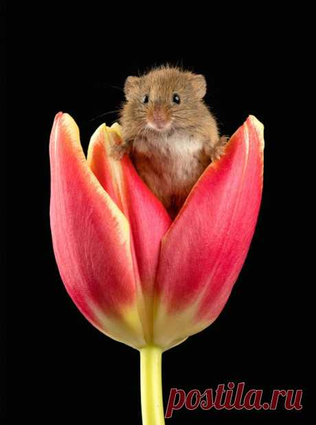 Эти восхитительные снимки мышей, исследующих тюльпаны, были сделаны Майлзом Гербертом, британским фотографом