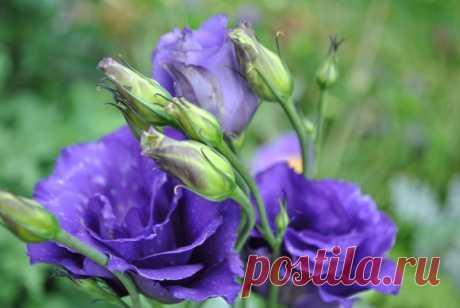 Полгода ожидания.... и в Вашем саду цветет прекрасная эустома