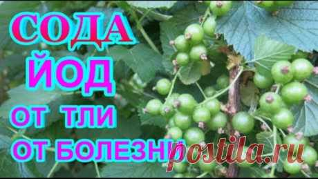 La SOSA CALCINADO + el YODO = el MEDIO FENOMENAL del PULGÓN, la podredumbre gris, el rocío harinoso - todas las plantas.