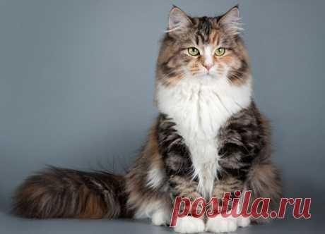 Какие кошки - самые ласковые? Сибирская кошка