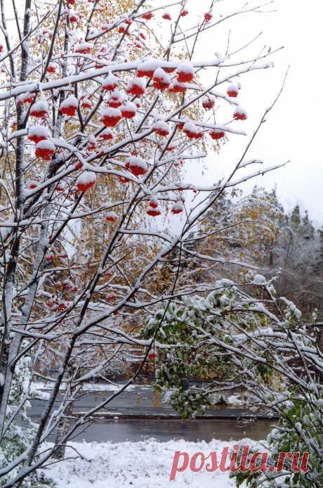 """""""В миг полуосени-полузимы..."""" Зима заметает дорожки, Холодной позёмкой шурша. Горят на рябинке серёжки. Ах, как она в них хороша! И даже под снежной косынкой Огнём своим ярким горят Серёжки и бусы рябинки – Из ягод весёлый наряд. Мороза она не боится, Косынку под ветром стряхнёт. И тут же над ветками птицы, Порхая, ведут хоровод. Им ягоды эти по вкусу. А как же наряд? Посмотри – Как будто красивые бусы, На ветках сидят снегири."""