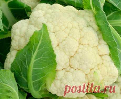 Выращивание цветной капусты