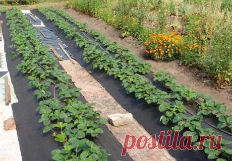 5 хитростей, которые помогут увеличить урожай клубники в 2-3 раза — Садоводка