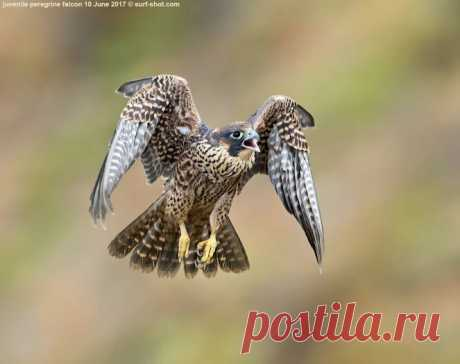 surf-shot-juvenile-peregrine-falcon-10-June-2017--0262.jpg (663×524)