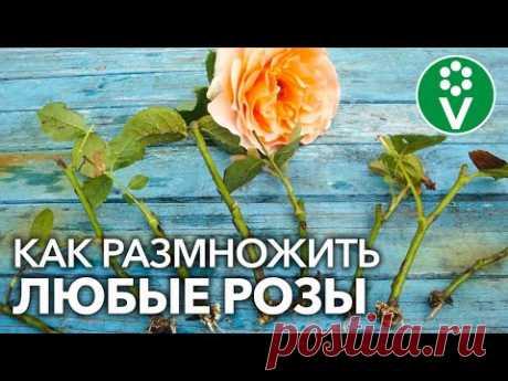 УКОРЕНИТСЯ ЛЮБАЯ РОЗА! Самый полный мастер-класс по размножению роз летом