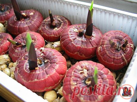 Соседка поделилась необычным способом подготовки луковиц Гладиолусов к посадке. Теперь цветов в 3 раза больше. Делюсь методом   Цветущий сад   Яндекс Дзен