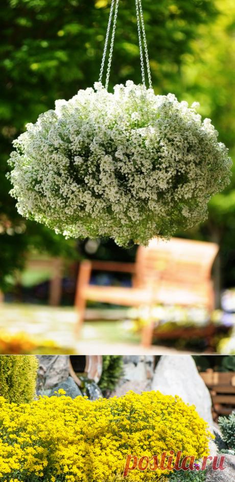 Цветы Алиссум (50+ фото): Посадка, выращивание, уход [2018]