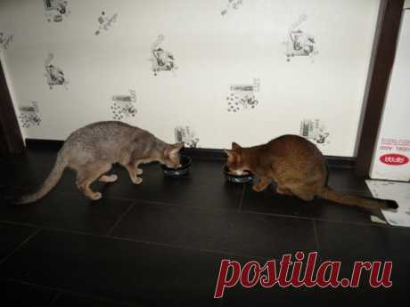Feeding of cats: natural diet