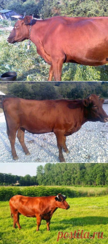 Красная степная порода коров - БиоКорова