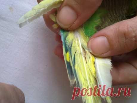 Клещ у волнистых попугаев - как лечить