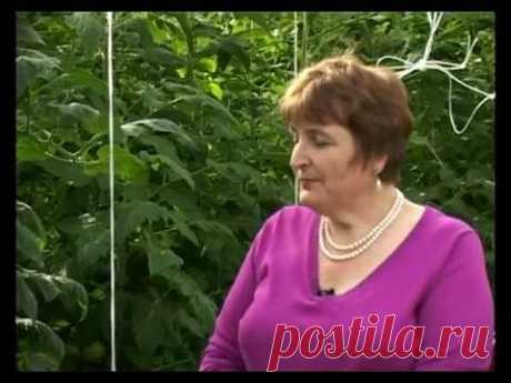 Garden and kitchen garden. Tomatoes - tomatoes (the training video)