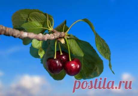 Прививка вишни на сливу - ЛАЙФСТАЙЛ-БЛОГ Добрый день, мой читатель. Садоводы-любители часто прививают вишню на сливу, чтобы получить новое необычное растение с определёнными характеристиками. Для этой цели берут сеянцы местной сливы и прививают на них вишни нужного сорта. Иногда подвой делают сразу с несколькими сортами, чтобы получить разные ягоды и плоды на одном дереве. Вишня. Иллюстрация для статьи используется по стандартной […]
