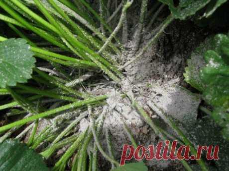 Как правильно подкармливать растения золой