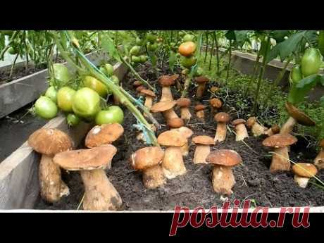 How to grow up many cepes on the site (result)