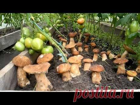 Как вырастить много белых грибов на своем участке (результат) - YouTube