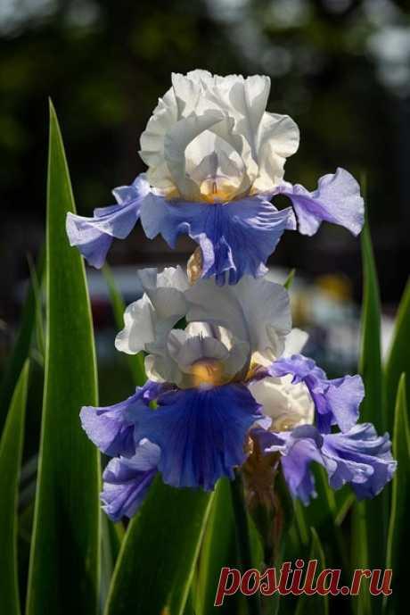 …Изысканно-волшебные цвеmы Небесно-голубым огнем в саду nылаюm. Их нежные воздушные черmы Изяществом своuм nоэmов вдохновляюm...  © Марьяна