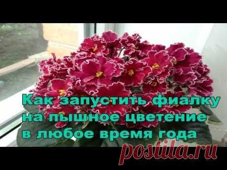 Пышное цветение фиалок.Как запустить фиалку на пышное цветение