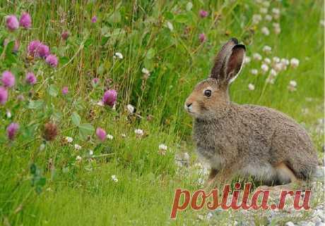 Приметы: встретить зайца – в лесу, во дворе, во время свадьбы:  Зайцы являются милыми лесными зверьками, которыми люди могут любоваться бесконечно долго из-за их красоты. В древние же времена зайцев считали особыми животными, потому что по ним можно было предсказывать будущее. Чтобы это делать, нужно было всего лишь обратиться к народным приметам: