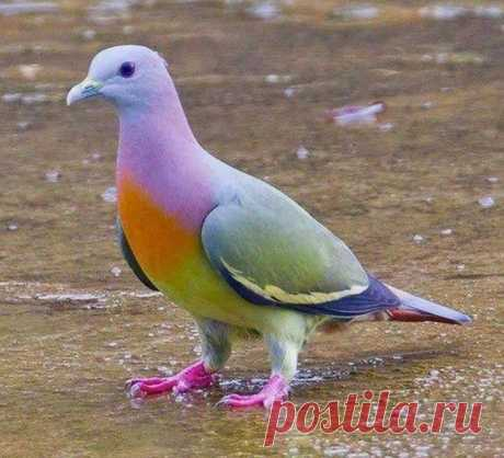 А вы знали, что существуют и такие голуби? Полосатохвостый зелёный голубь обитает в Азии. Очень жаль, что до России такие птички не долетают