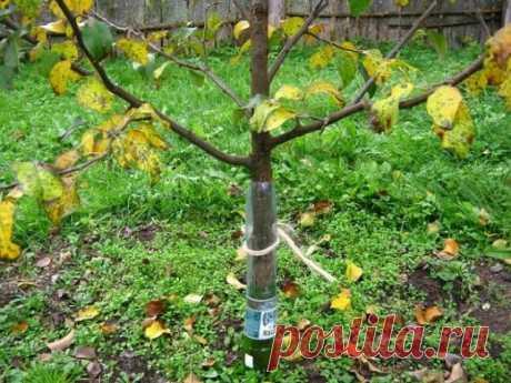 Как защитить яблони от мышей и зайцев зимой | Яблоня, груша (Огород.ru)
