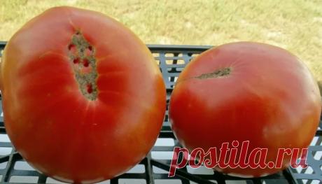 Именно эта подкормка отвечает за ТОЛСТЫЙ ствол и позволяет получить МАКСИМАЛЬНО крупные томаты | 6 соток