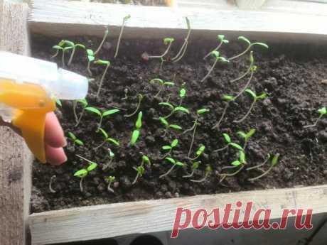 Чем подкормить рассаду помидоров для укрепления ствола. 3 простых рецепта   Дачные секреты от Виктории Радзевской   Яндекс Дзен