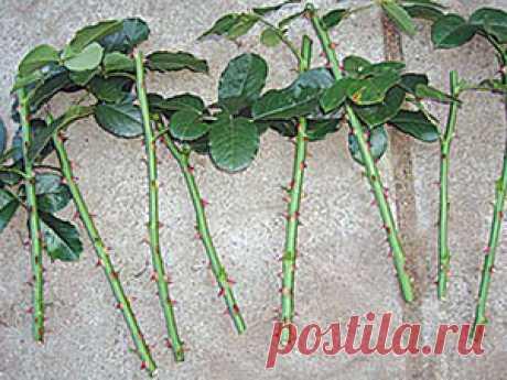 Размножение роз черенками из букета и в картошке, способы черенкования розы