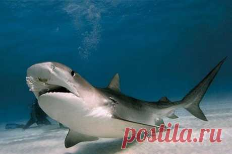 Как опознать белую акулу. Хотя эта акула и называется белой, на самом деле белое, или сероватое, у нее только брюхо. Спина у нее обычно темно-серая. На стыке этих двух цветов на боках рыбы образуется неровная линия, причем ее форма у каждой акулы своя. Эта особенность помогает акуле маскироваться, а ученым — различать отдельные особи.Каких размеров достигают белые акулы?