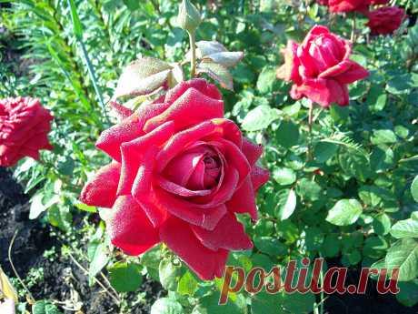 Чтобы розы всегда радовали: что я делаю в конце июля   Дачный дневник пенсионерки   Яндекс Дзен