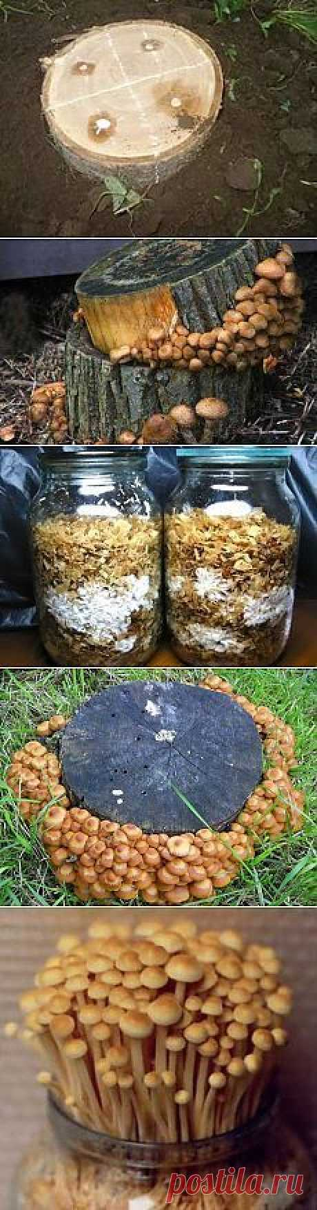 How independently to grow up or cultivate mushrooms honey agarics in house conditions. The description of techniques and technologies of cultivation of summer and autumn honey agarics on a personal plot on stubs, in greenhouses, cellars and in banks on a window sill