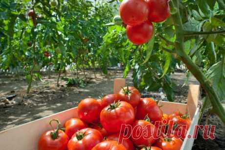 Попшикайте этим средством на огурцы и помидоры - и они никогда не будут «болеть»!  Метод, который использовали веками. С этим естественным средством ваши растения будут защищены от болезней и любых грибковых заболеваний. Решение, которое мы вам предлагаем, может быть использовано н…