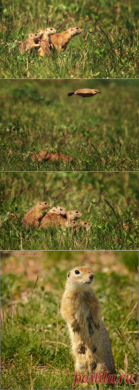 Семейка сусликов переезжает в другую нору. Умилительные фото и видео. | Дикая Природа Крыма | Яндекс Дзен