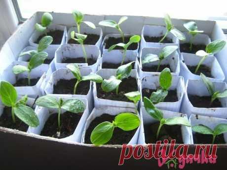 Как вырастить рассаду в бумажных стаканах|У дачки