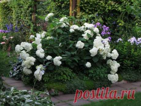 Landing of a hydrangea in an open ground: cutting for beginners, change, types of leaving, a cherenkovaniye, reproduction, video