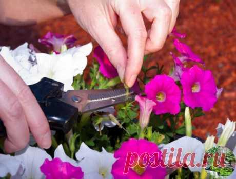 Как прищипывать петунию, чтобы она шикарно цвела?  Чтобы петуния радовала вас пышным цветом, за ней нужно правильно ухаживать. Не забудьте своевременно прищипывать и удалять ее верхние отросшие побеги. Если растение не корректировать, то оно не будет куститься, уйдет полностью в рост, а это испортит его внешний вид.  Начинайте прищипывать петунию, когда растение «пойдет в стебель» (то есть начнет стремительно расти вверх). Отсчитайте от низа стебля 3-5 листочка и отщипните...
