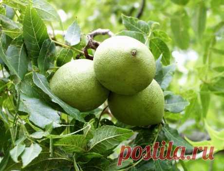Грецкий орех: лучшие сорта и их применение   Агропромышленный вестник